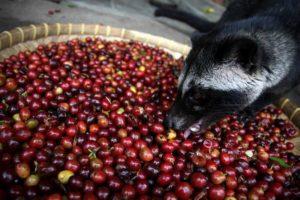 civette-mange-cerises-cafeier-kopi-luwak